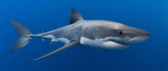 Sapņu tulks haizivs