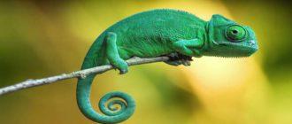 Sapņu tulks hameleons