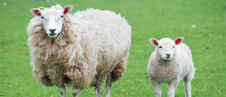 Sapņu tulks aita