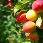 Sapņu tulks augļu koks