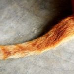 Sapņu tulks dzīvnieka aste