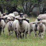 Sapņu tulks ganāmpulks