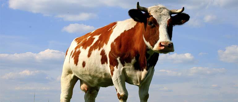 Sapņu tulks govs