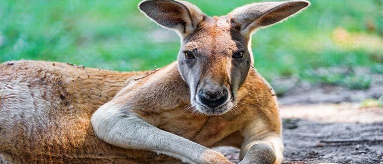 Sapņu tulks kengurs