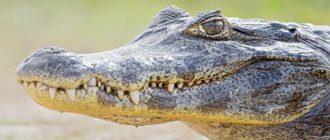 Sapņu tulks krokodils