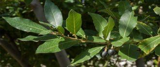 Sapņu tulks lauru koks