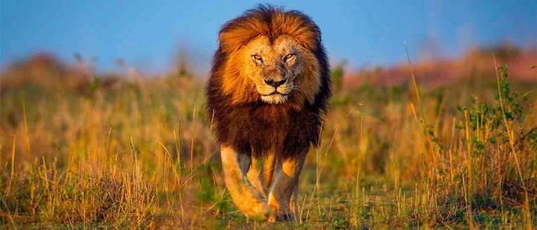 Sapņu tulks lauva