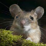 Sapņu tulks pele