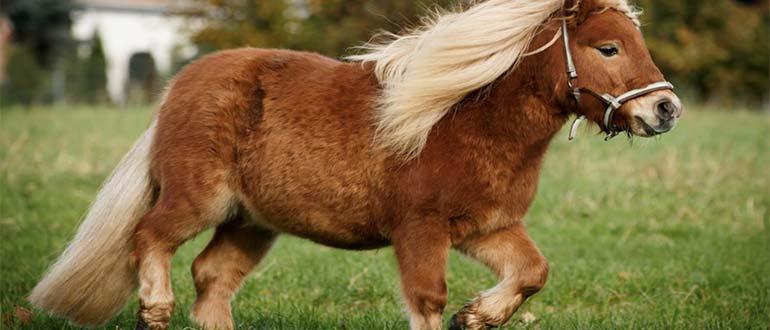 Sapņu tulks ponijs