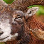 Sapņu tulks ragaini dzīvnieki