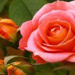 Sapņu tulks rozā