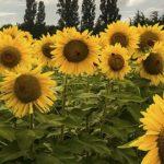 Sapņu tulks saulespuķe