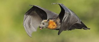 Sapņu tulks sikspārnis