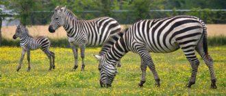 Sapņu tulks zebra