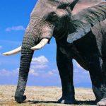 Sapņu tulks zilonis
