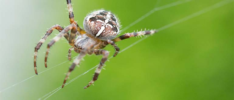Sapņu tulks zirneklis