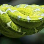 Sapņu tulks žņaudzējčūska